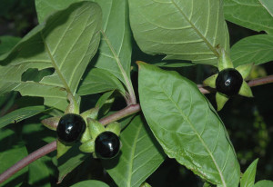 Belladonna officinalis